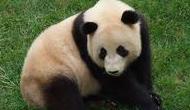 大熊猫出没映秀街头_监控摄像头记录全过程