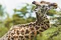 长颈鹿为争