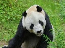 """年龄最大雄性大熊猫""""盼盼""""离世"""