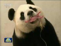 """旅比中国大熊猫""""好好""""顺利产仔"""